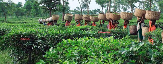 Tea-Garden-Srimongol