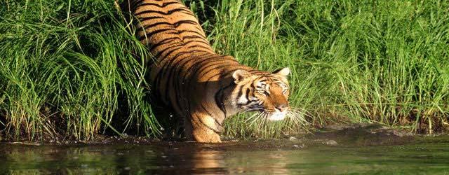 Tiger Sunderban