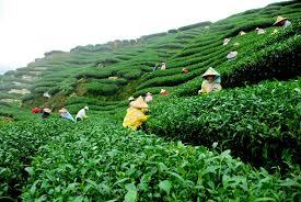 sylhet-tea-garden